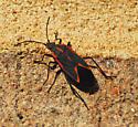 Boisea trivittata - Eastern Boxelder Bug - Boisea trivittata