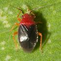 Halticotoma valida - Yucca Plant Bug? - Halticotoma valida