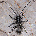 Unknown Long-horned Beetle - Monochamus scutellatus