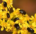 black flower beetle - Cryptorhopalum triste
