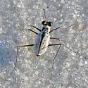 Possible Habroscelimorpha dorsalis saulcyi x venusta or media hybrid? - Habroscelimorpha dorsalis