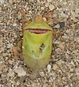 Small Stink Bug  - Piezodorus guildinii