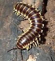 Millipede - Pleuroloma flavipes