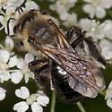 Bee IMG_1280 - Andrena vicina