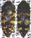 Acmaeodera alpina Barr - Acmaeodera alpina
