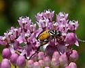 Beetle - Trigonopeltastes delta