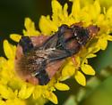 ambush bug 082518 - Phymata