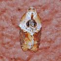 Hodges#3536  - Acleris robinsoniana