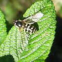 Syrphini 01 - Dasysyrphus intrudens - female