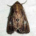 moth - Properigea loculosa