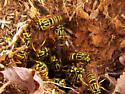 Southern Yellowjacket nest - Vespula squamosa