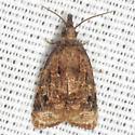 Black-shaded Platynota Moth - Hodges #3732 - Platynota flavedana - male