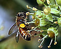 Invasive on invasive. Apis mellifera  - Apis mellifera - female