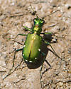 Six-spotted Tiger Beetle, top view - Cicindela sexguttata