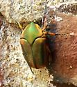 fig beetle? - Cotinis nitida