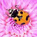 Lady beetle - Hippodamia caseyi