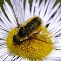 Bee fly on Showy Daisy - Villa