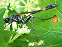 Caterpillar Wasp? - Ammophila procera - male