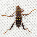 Colorful Beetle - Neoclytus mucronatus