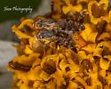 Genus: Campaglossa Unknown Species  on Spanish Needle aka Bidens Alba - Campiglossa