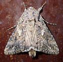 Noctuid - Trichoplusia ni
