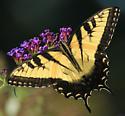 Papilio glaucus male? - Papilio glaucus