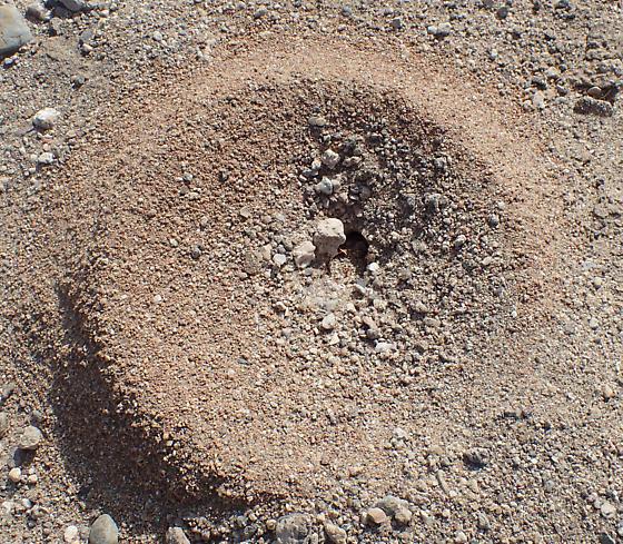 Ant nest in desert wash - Myrmecocystus