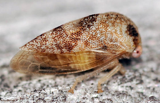 treehopper - Cyrtolobus maculifrontis