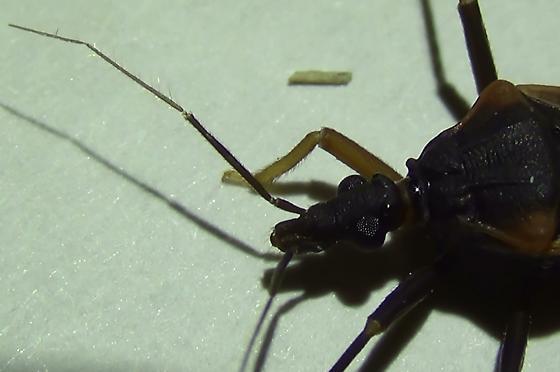 Bloodsucking Conenose Bug (short left foreleg) - Triatoma rubida - male