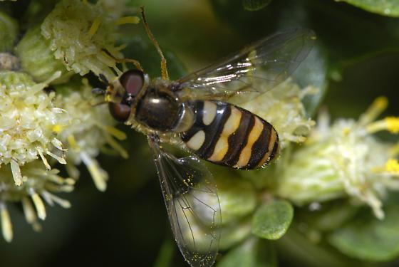Eupeodes or Syrphus ? - Eupeodes fumipennis