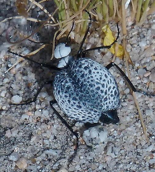 Unknown - Cysteodemus armatus