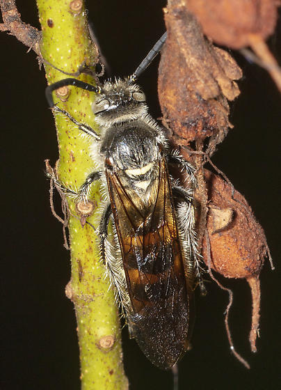 Allen Acres beast - Dielis plumipes