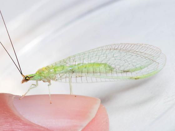 N. pavida - Leucochrysa pavida - female