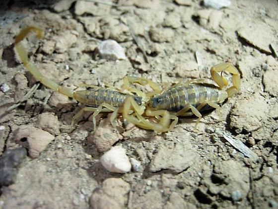 Scorpion mating - Centruroides vittatus