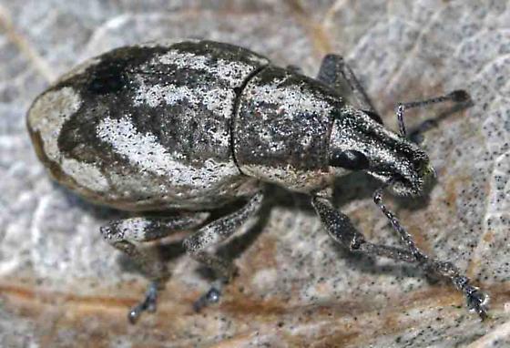 weevil - Epicaerus imbricatus