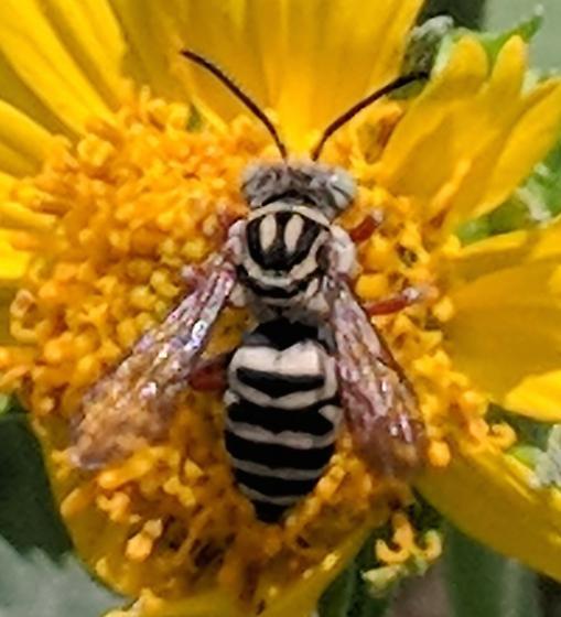 Bee - Triepeolus