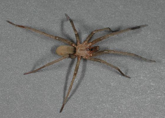 Kukulcania geophila male - Kukulcania geophila - male