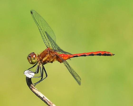 possible ruby meadowhawk - Sympetrum