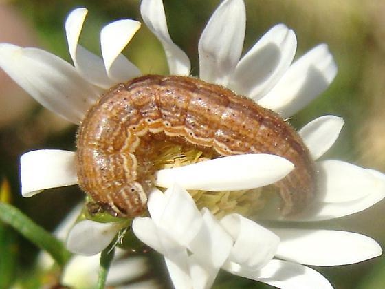 Caterpillar on frost aster - Schinia arcigera