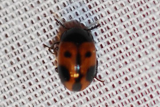 Diaperis maculata? - Diaperis maculata