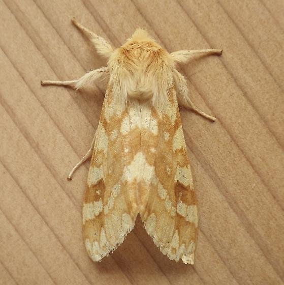Erebidae: Lophocampa maculata - Lophocampa maculata