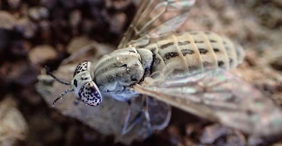 Silvius quadrivittatus - Silvius - female