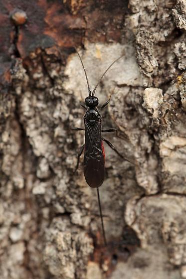 Ichneumon Wasp? - Atanycolus - female