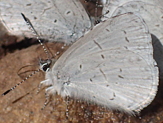 Are these in the Polyommatinae? - Celastrina echo