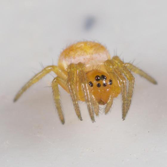 Tiny Yellow Spider With Black Spots - Araniella