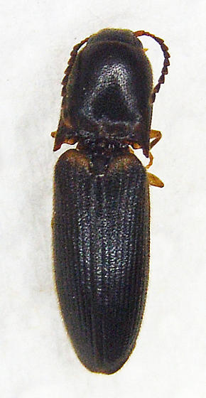 Click Beetle 7 - Megapenthes rufilabris