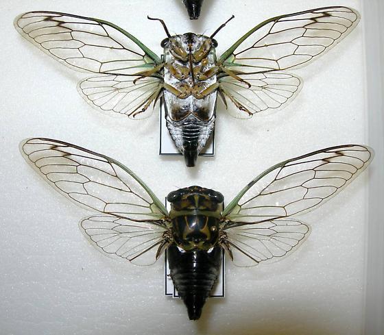 Tibicen linnei (MALES) - Neotibicen linnei - male