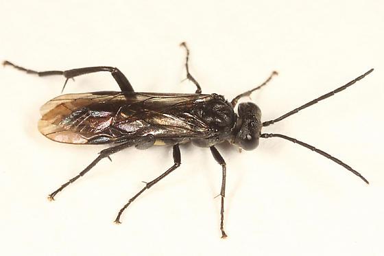 sawfly - Macrophya macgillivrayi