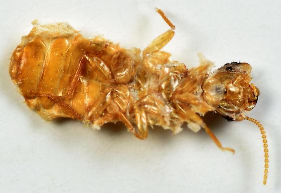 Formosan subterranean termite - Coptotermes formosanus