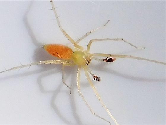 Wulfila Ghost Spider - Wulfila albens - male